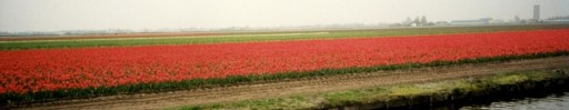 cropped-cropped-tulips.jpg